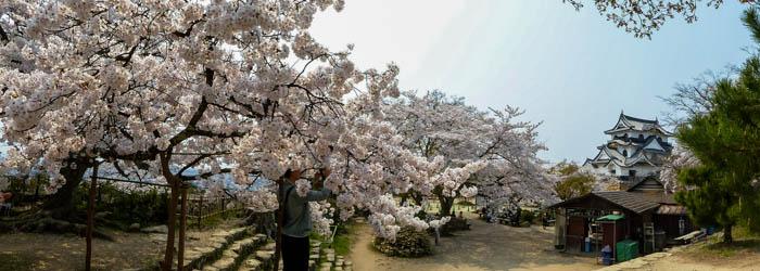 sakura_hikone_chateau_P1020547_10042014