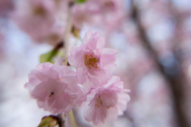 sakura_selection_article02042014-7v0b4102