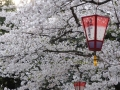 sakura_selection_article02042014-p1010564