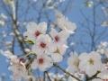 sakura_matsuyama_01042014-p1010227