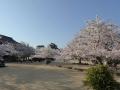 sakura_matsuyama_01042014-p1010368