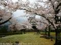 sakura_uwajima30032014-7v0b1496