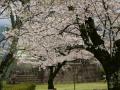 sakura_uwajima30032014-7v0b1537