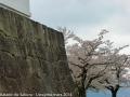 sakura_uwajima30032014-p1000967