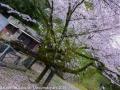 sakura_uwajima30032014-p1010029