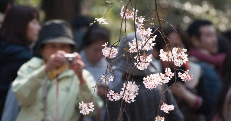 Hanami – Photographier les fleurs