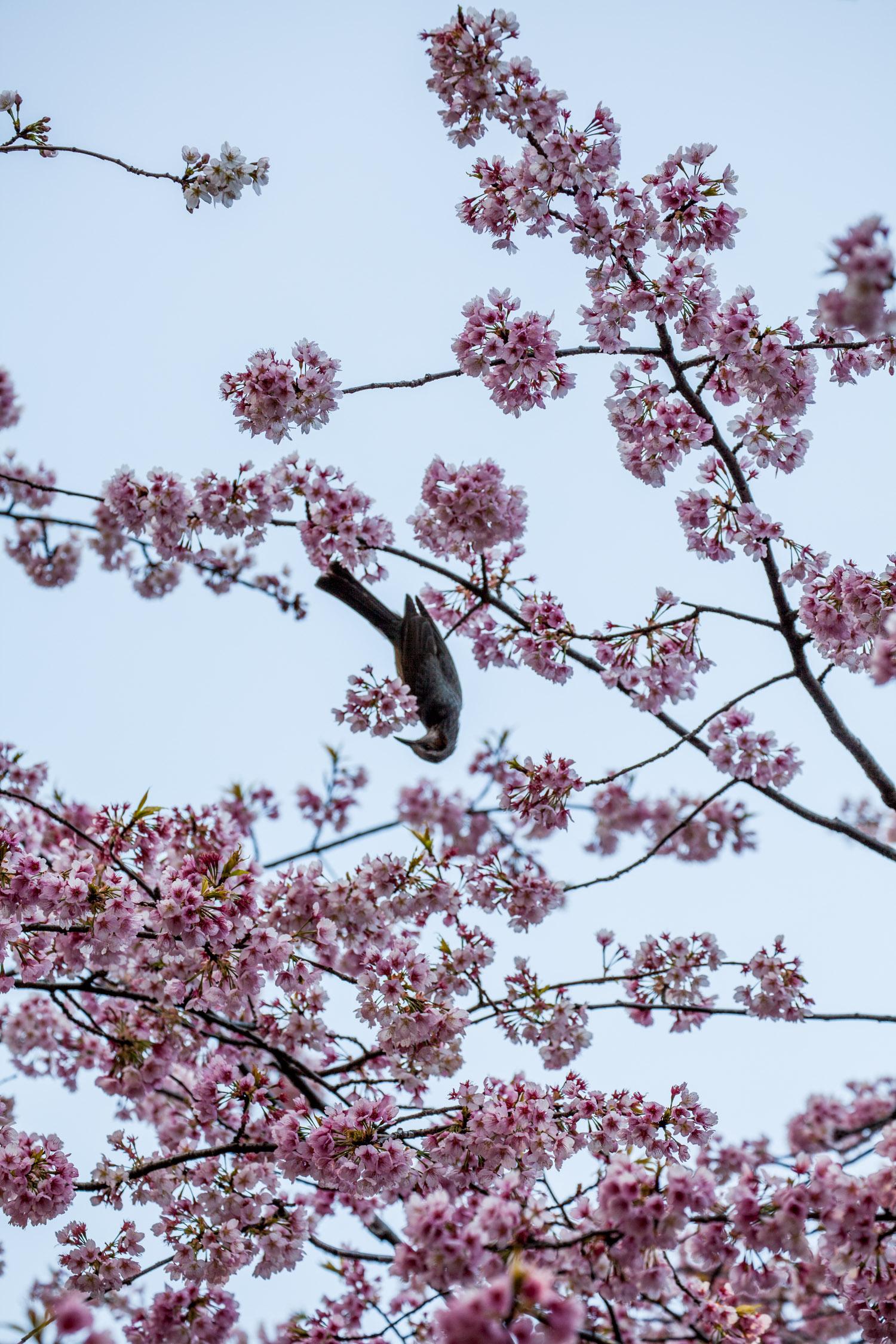 bird__japaninamug__sakura_IMG_4538