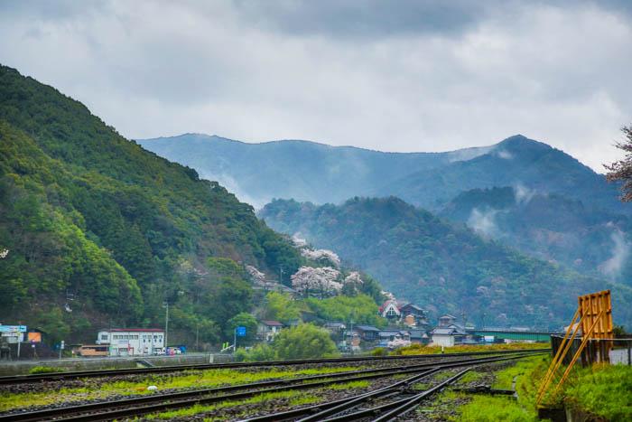 sakura_uwajima-29032014-7V0B1383