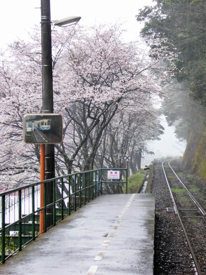 sakura_uwajima-29032014-P1000682