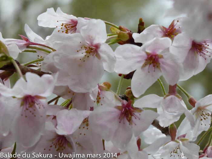 sakura_uwajima30032014-P1000830