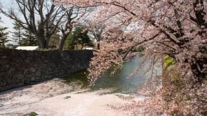 Sakura_article_matsumoto_19042014_7V0B0816