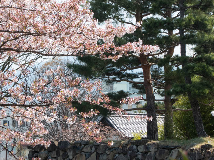 Sakura_article_matsumoto_19042014_P1030872