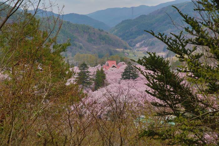 Sakura_article_takato_20042014_7V0B1633