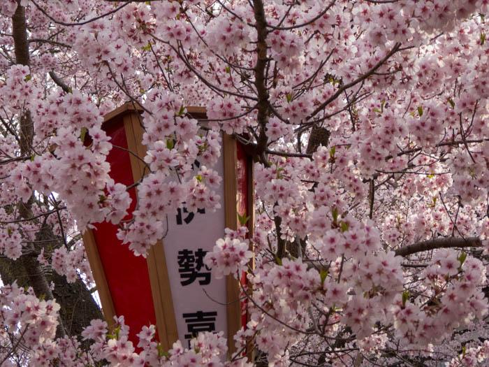 Sakura_article_takato_20042014_P1030965