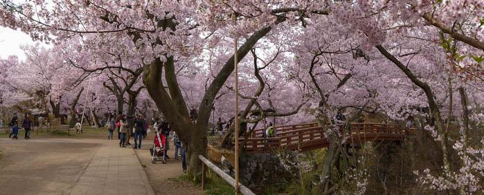 Sakura_article_takato_20042014_P1030971