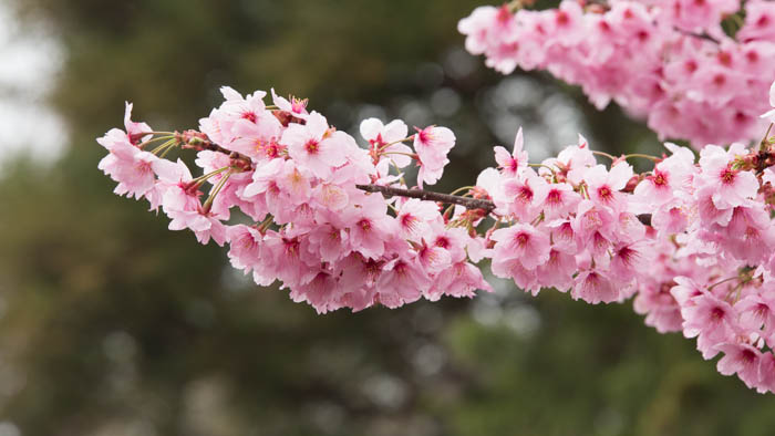 Sakura_article_ueda_18042014_7V0B0270