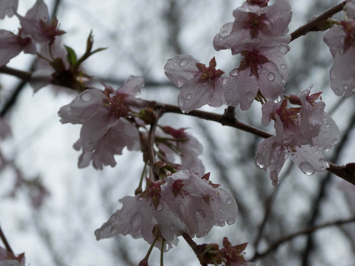 Sakura_article_ueda_18042014_P1030666
