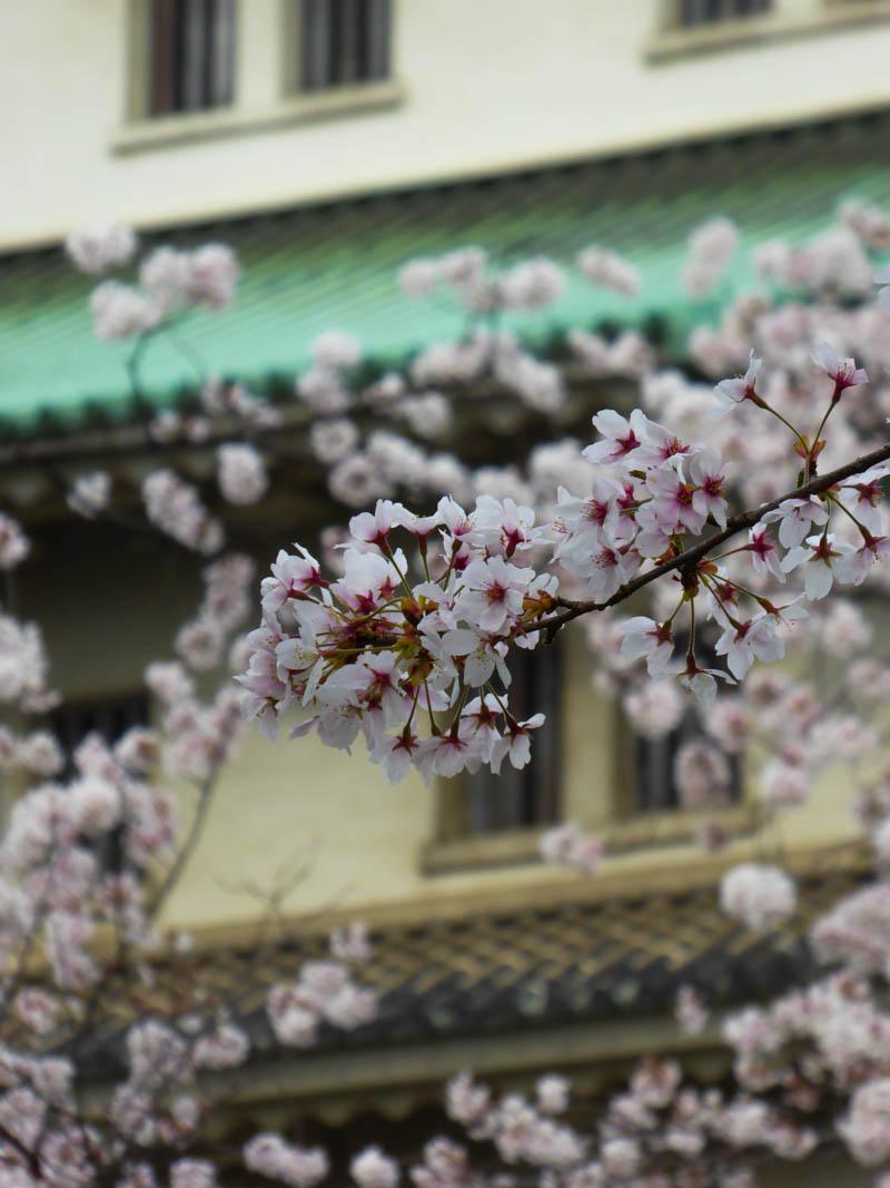 sakura_03042014-P1010637