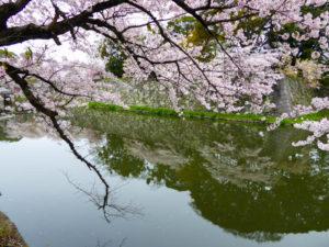 sakura_hikone3_13042014-P1020996