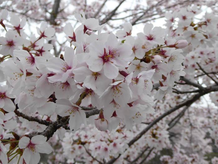 sakura_hikone3_13042014-P1030030