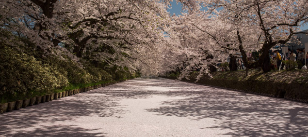 Full cherry blossom