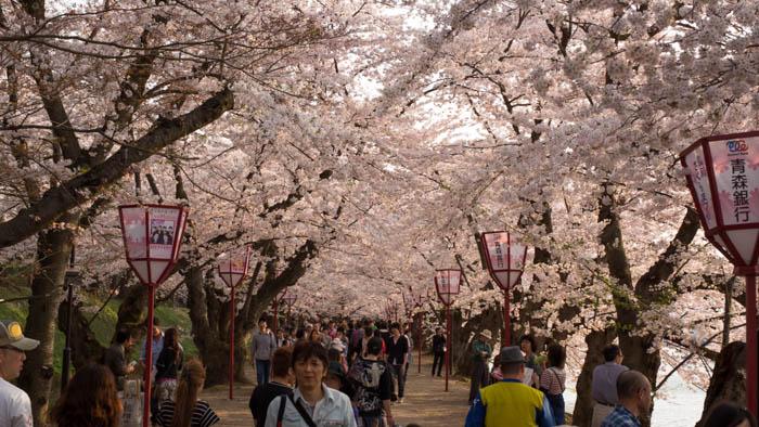Sakura_article_hirosaki1_27042014_7V0B4245