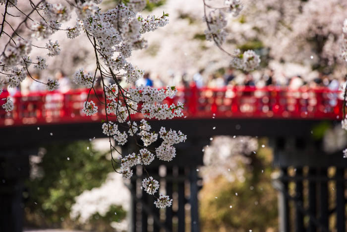 Sakura_article_hirosaki2--selection_exposure_29042014_7V0B5103