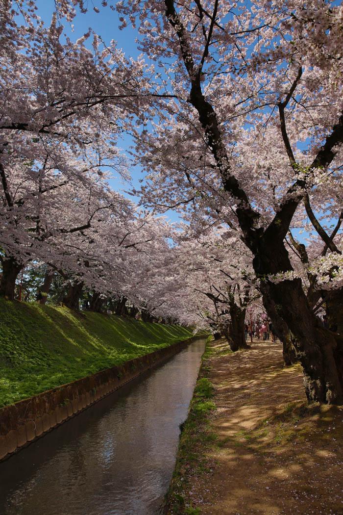 Sakura_article_hirosaki2_29042014_7V0B4951