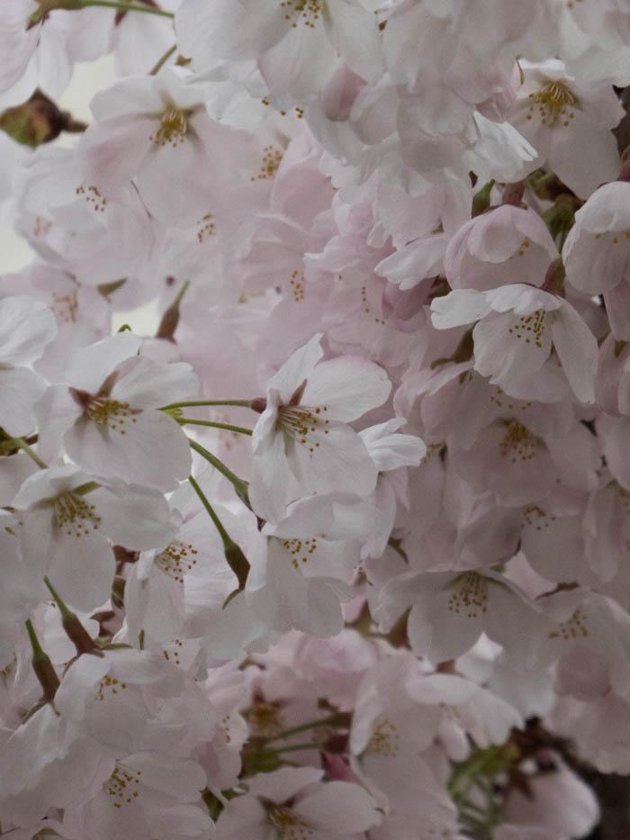 Sakura_article_takayama1_21042014_P1040113