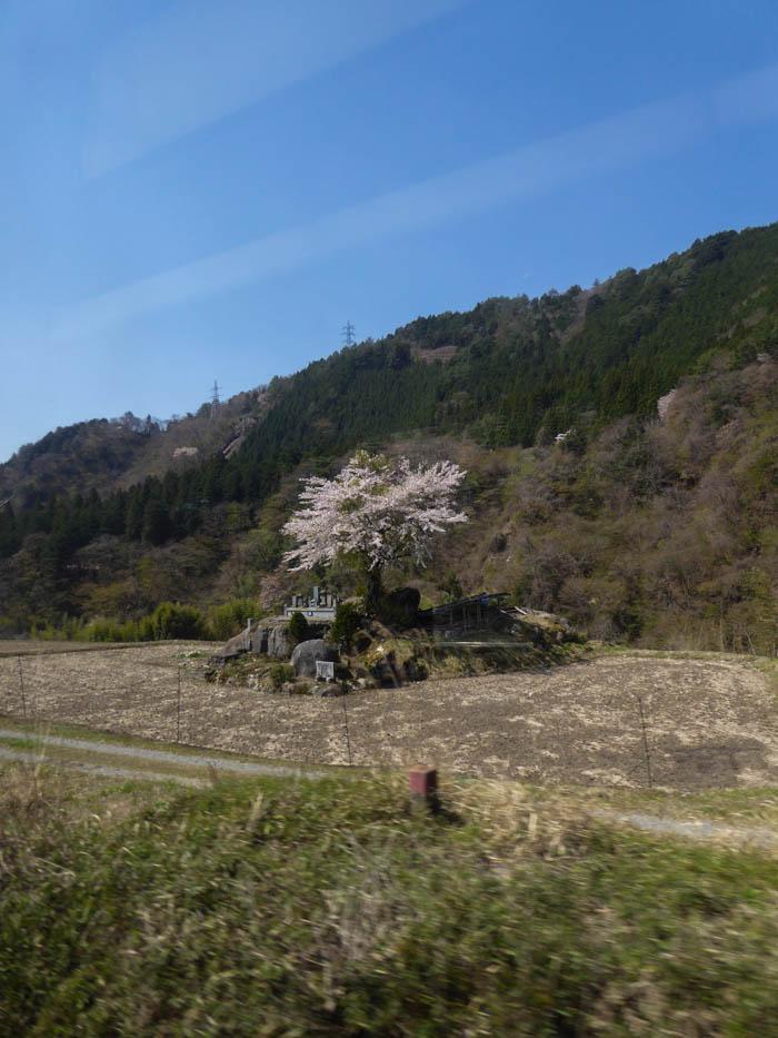 Sakura_article_transition_yamagata_23042014_P1040292