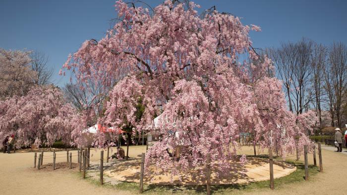 Sakura_article_yamagata2_25042014_7V0B2981